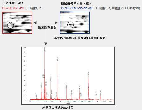 电泳/图像解析与差异蛋白质的ms谱图